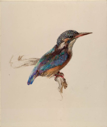 Study of a Kingfisher, with dominant Reference to Colour
