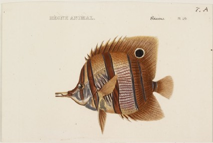 A Copperband Butterfly Fish