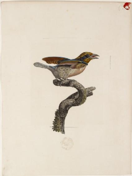 Barbu de la Guyane, Seconde Variété