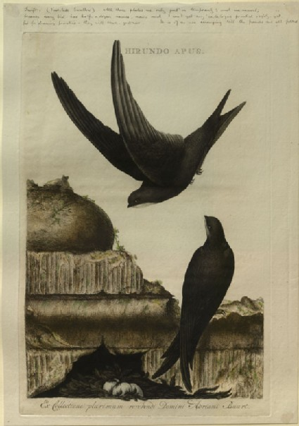 Swift ('Hirundo Apus')