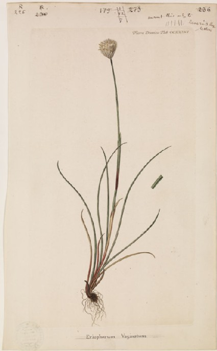 Eriophorum Vaginatum (from the Floræ Danicæ)