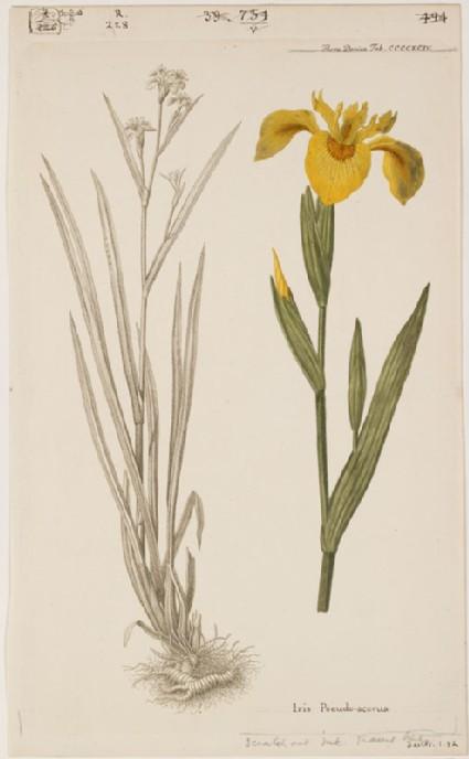 The Golden Iris (Iris Pseudo-acorus) (from the Floræ Danicæ)