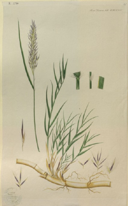 A Grass (from the Floræ Danicæ)