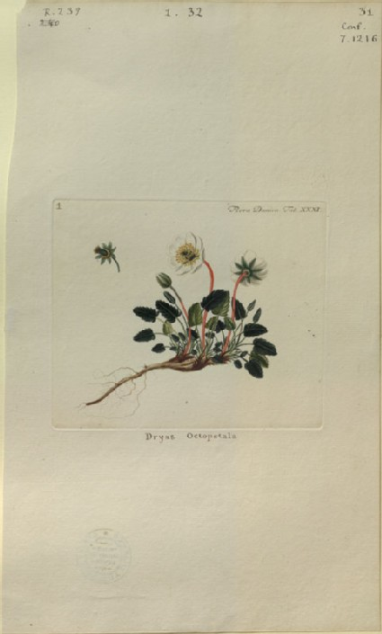 The Mountain Avens (Dryas octopetala) (from the Floræ Danicæ)