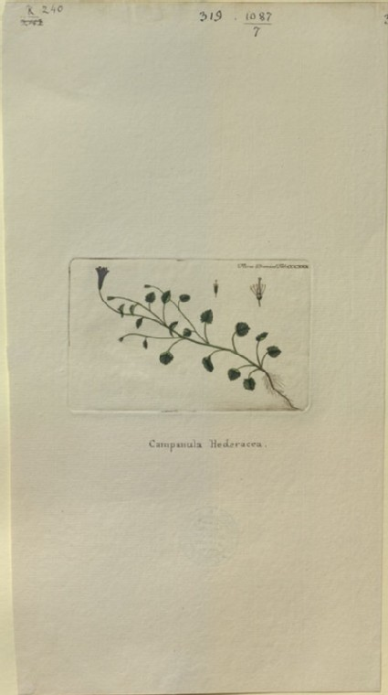 The Ivy Campanula (Campanula Hederacea) (from the Floræ Danicæ)