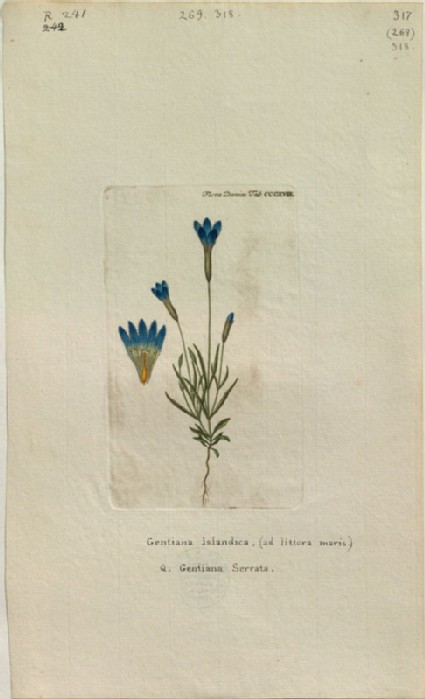 The Iceland Gentian (Gentiana Islandica, Q. Gentiana Serrata) (from the Floræ Danicæ)