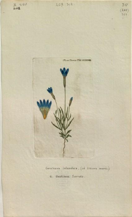 The Iceland Gentian (Gentiana Islandica, Q. Gentiana Serrata) (from the Floræ Danicæ)