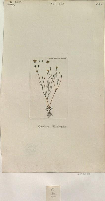 The Slender Gentian (Gentiana Filiformis) (from the Floræ Danicæ)