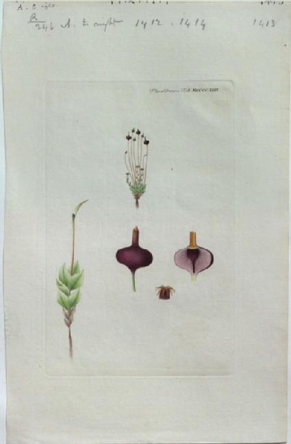 A purple Moss (from the Floræ Danicæ)