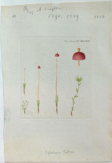 A scarlet Moss (Sphagnum Rubrum) (from the Floræ Danicæ)