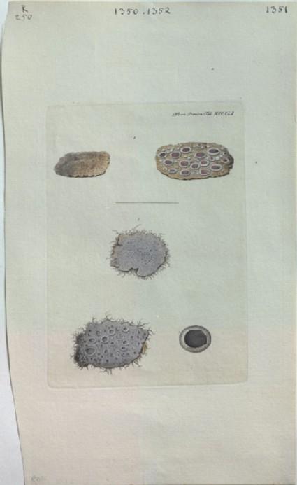 Lichens (from the Floræ Danicæ)
