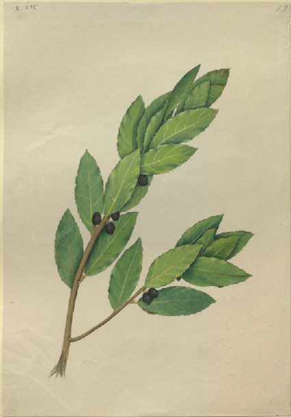 Drawing of an Illustration in the 'Herbal of Benedetto Rin', showing a Spray of Laurel ('Laurus')