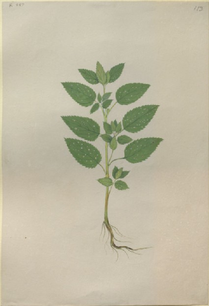 Drawing of an Illustration in the 'Herbal of Benedetto Rin', showing a young Ash or Common Polypody Plant ('Frasinella')