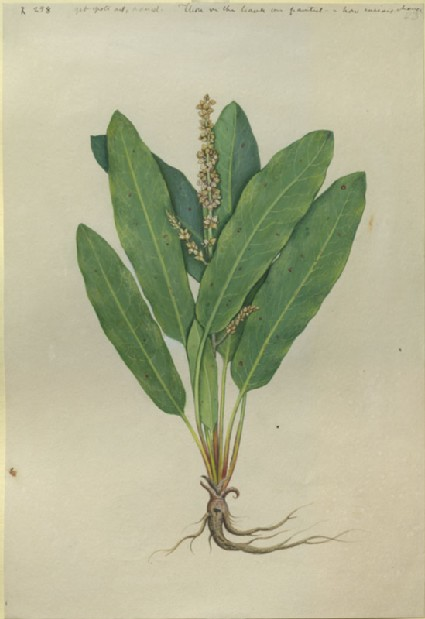 Drawing of an Illustration in the 'Herbal of Benedetto Rin', showing a Sorrel Plant ('Lapathus cauterinus')