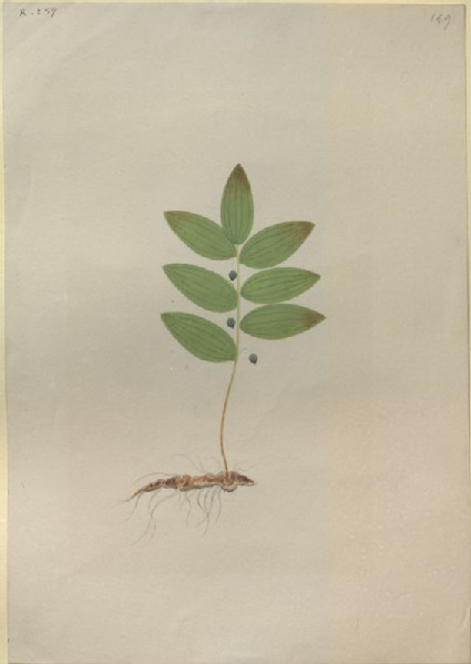 Drawing of an Illustration in the 'Herbal of Benedetto Rin', showing a 'Mezeuzialis' Plant