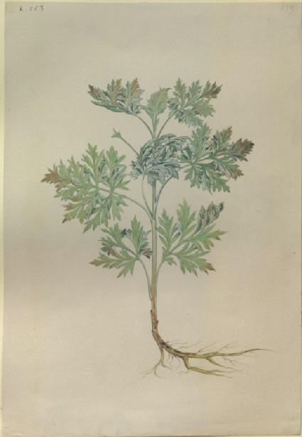 Drawing of an Illustration in the 'Herbal of Benedetto Rin', showing a Wormwood Plant ('Absanthius')