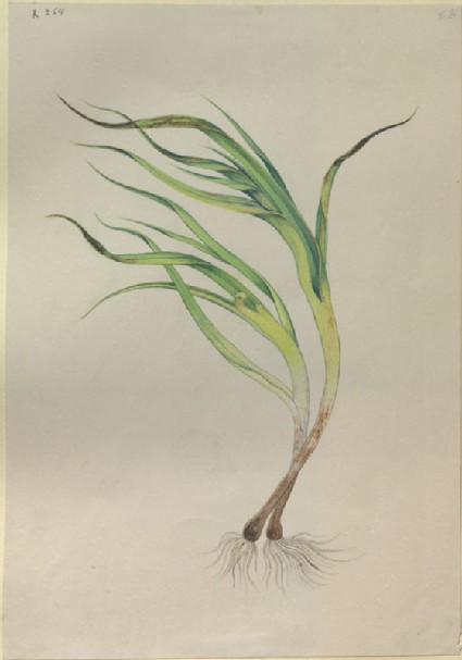 Drawing of an Illustration in the 'Herbal of Benedetto Rin', showing a 'Porus' Plant