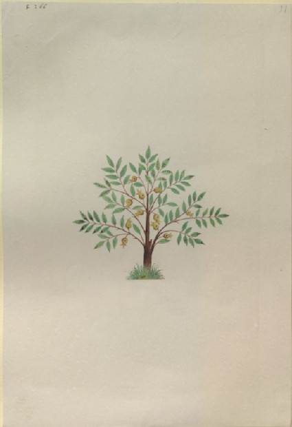 Drawing of an Illustration in the 'Herbal of Benedetto Rin', showing a Nutmeg Tree ('Nux muscata')