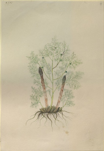 Drawing of an Illustration in the 'Herbal of Benedetto Rin', showing an Asparagus Plant ('Sparagus')
