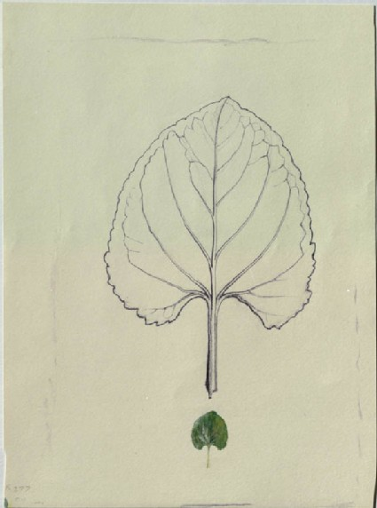 Enlarged Outline of a Violet Leaf, with a life-size Leaf below