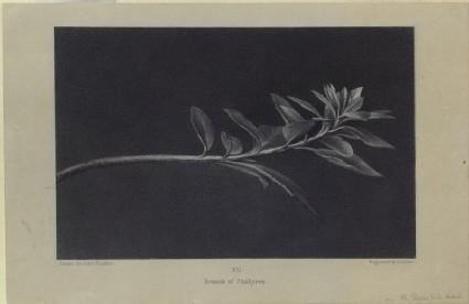Engraving of Ruskin's drawing of Growing Shoot of Mock Privet (Phillyrea), seen in Profile