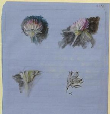 Recto: Four Studies of Clover Blossoms<br />Verso: Two rough Studies of Clover Blossoms