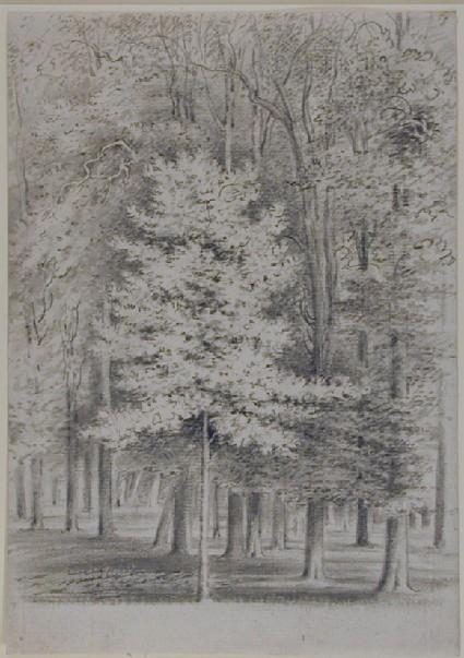 A sapling elm, Magdalen Grove