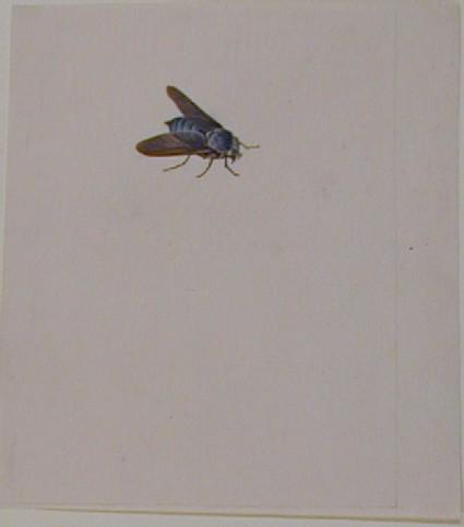 Horse-Fly (Tabanus Atratus)