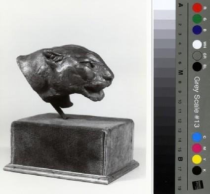 Head of a puma