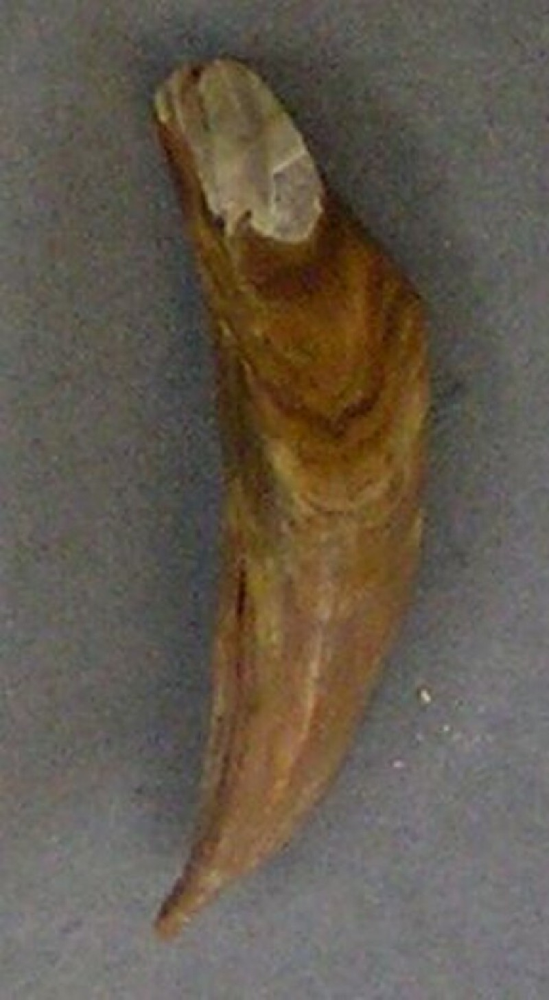 Tooth fragment