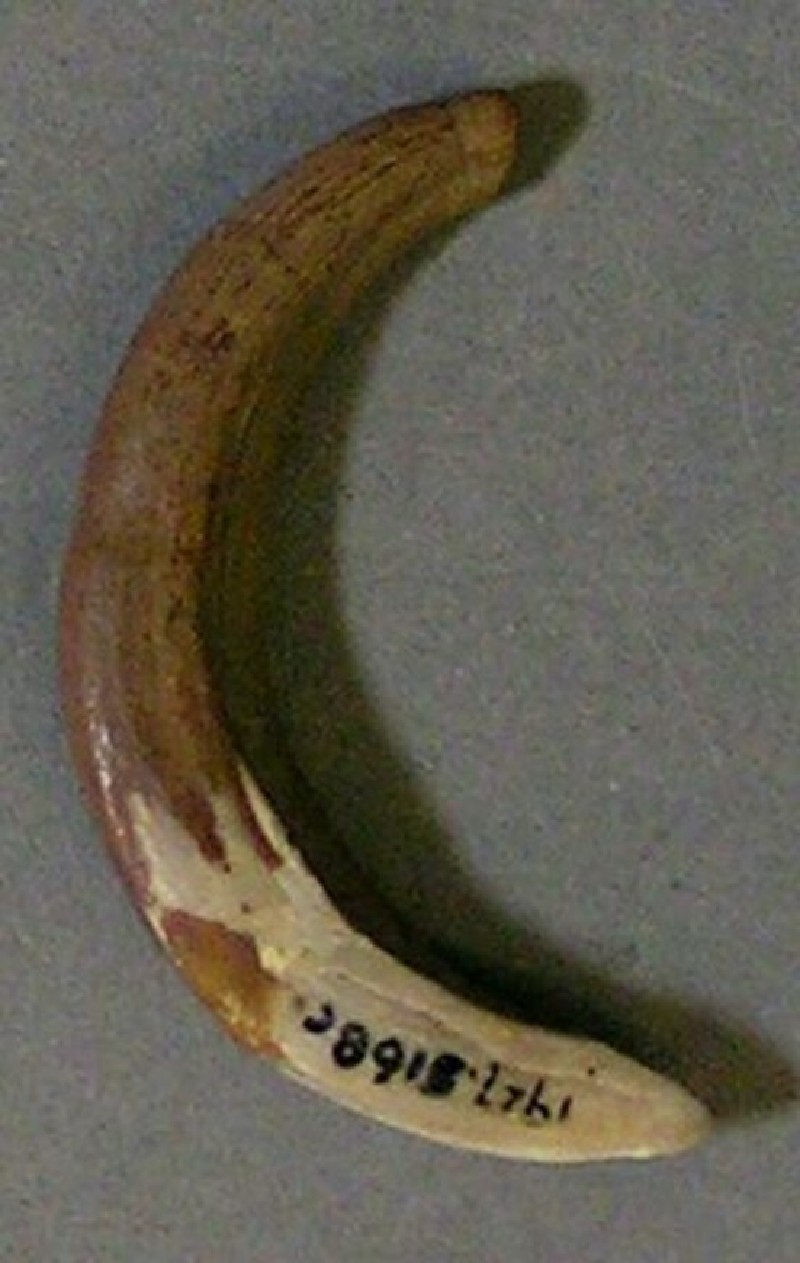 Tooth fragment (AN1927.5168.c, record shot)