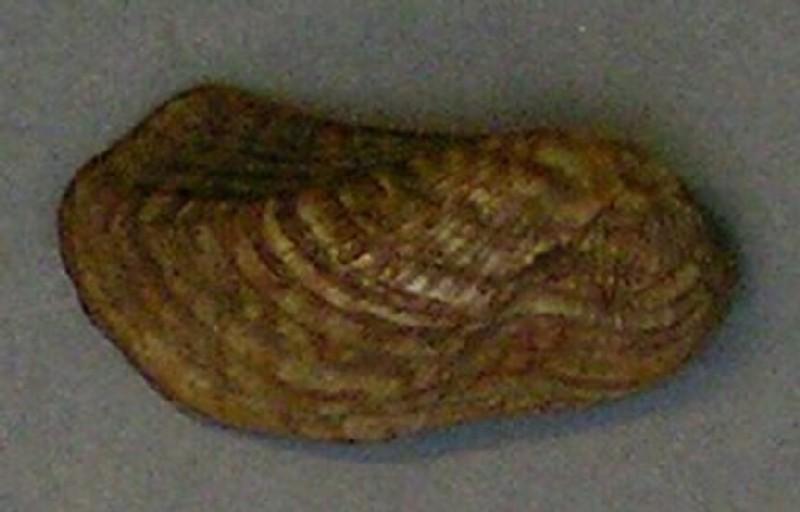 Shell (AN1927.5166, record shot)
