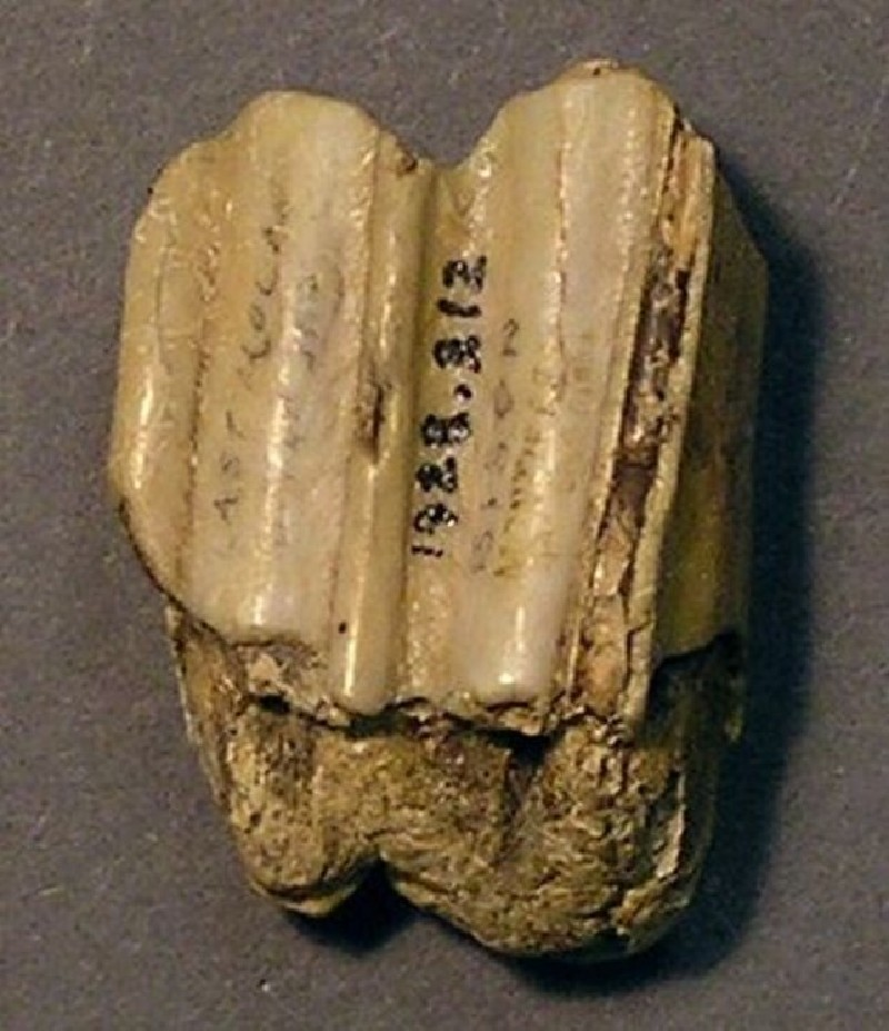Fossilised tooth, the last molar in the upper jaw, of a bison (AN1928.312, record shot)