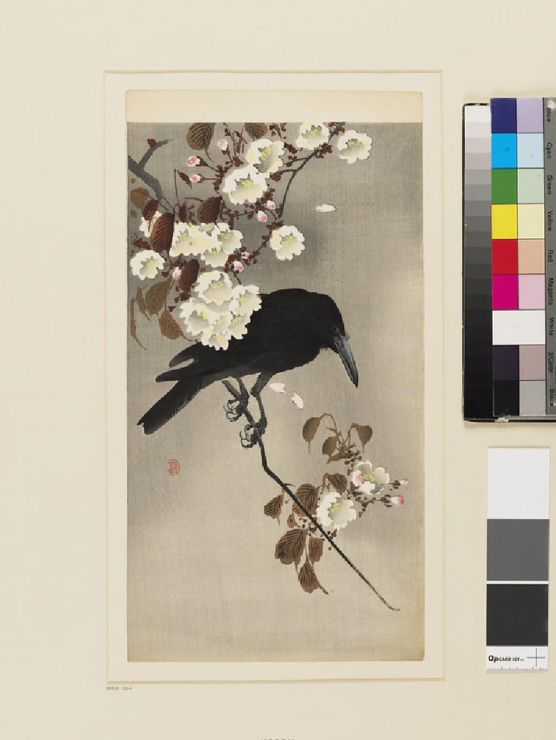 A Jungle Crow on a flowering cherry branch (front            )