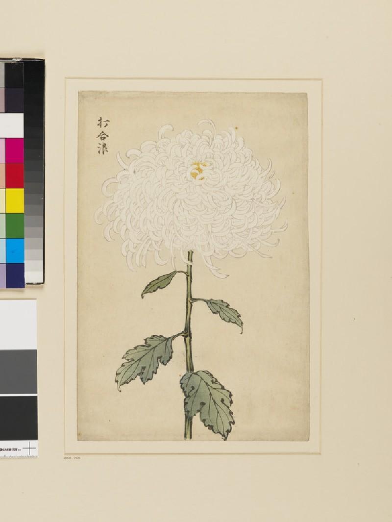 White chrysanthemum (EA1958.269, front            )
