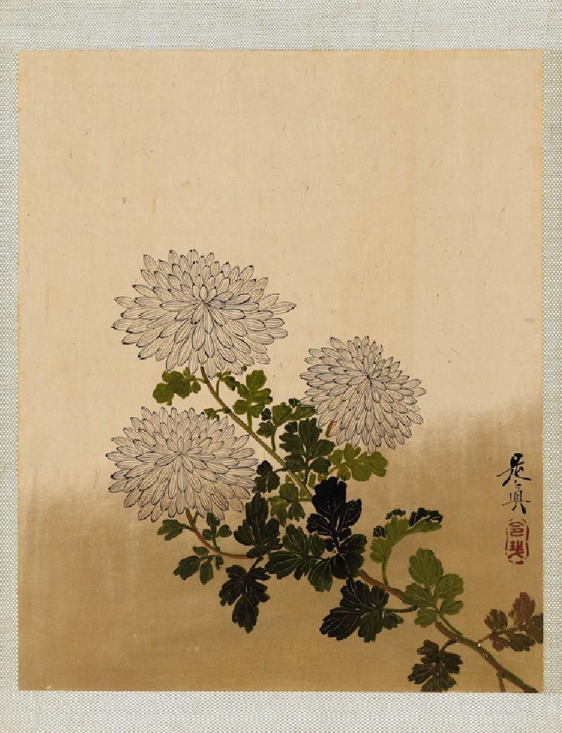 Chrysanthemums (front            )