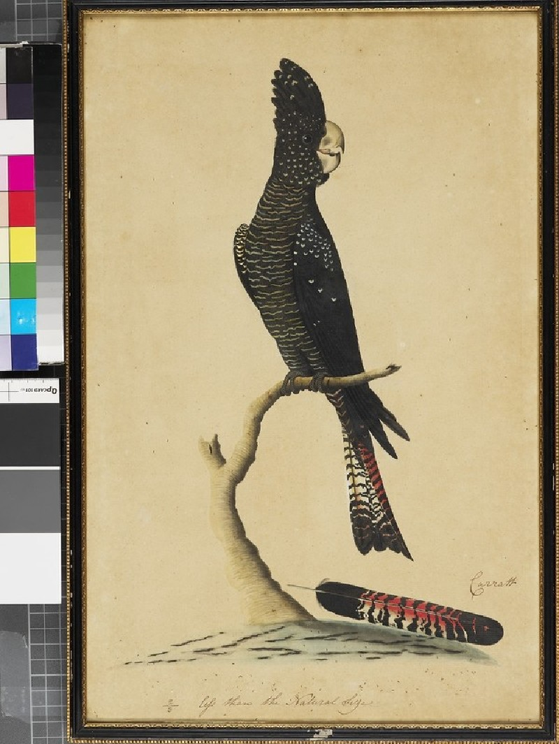 Bird with black, white, and red plumage (EA2013.111, front            )
