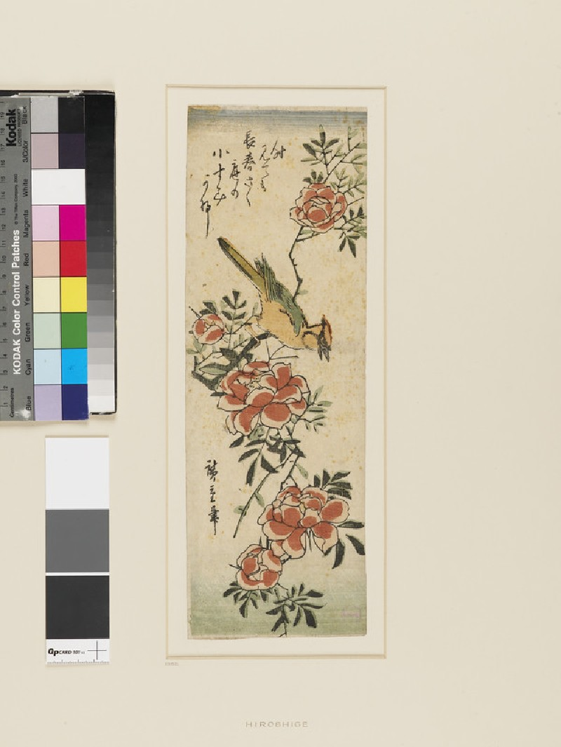 Golden Oriole and wild roses