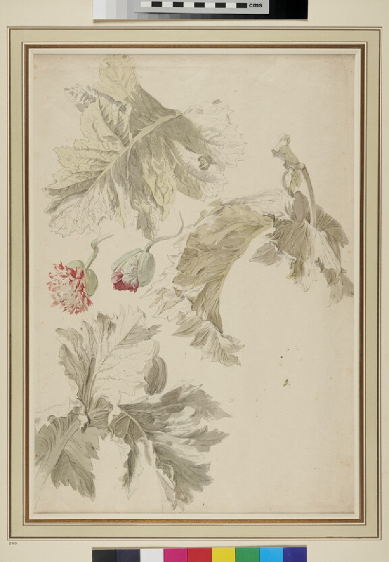 Study of the Buds and Leaves of a Poppy (WA1937.208, recto)