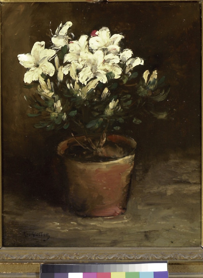 A white azalea in a flower pot