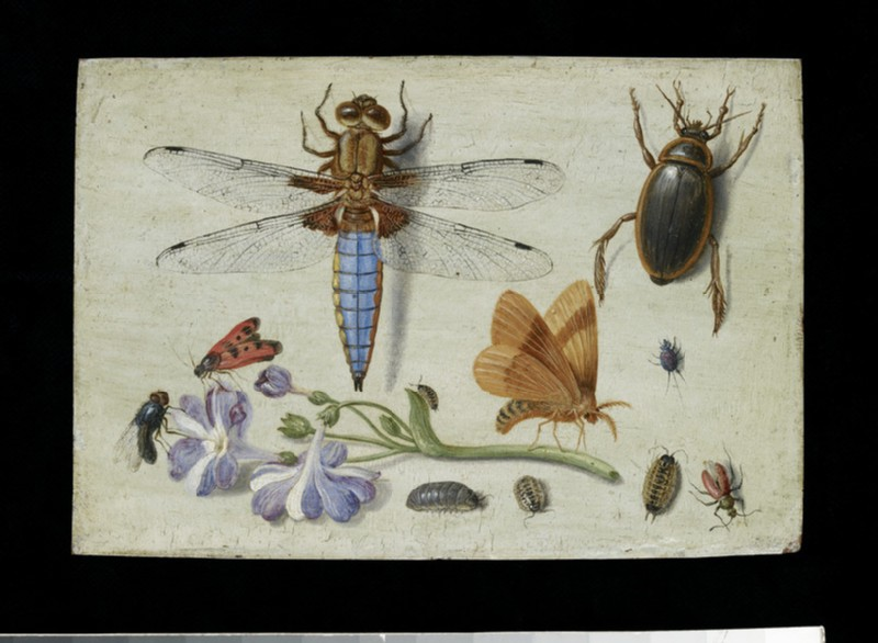 A Cockchafer, Beetle, Woodlice and other Insects, with a Sprig of Auricula (WA1940.2.40)