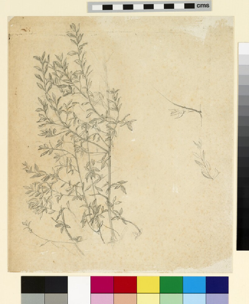 Study of branches, with detail studies of a twig and sprig of leaves