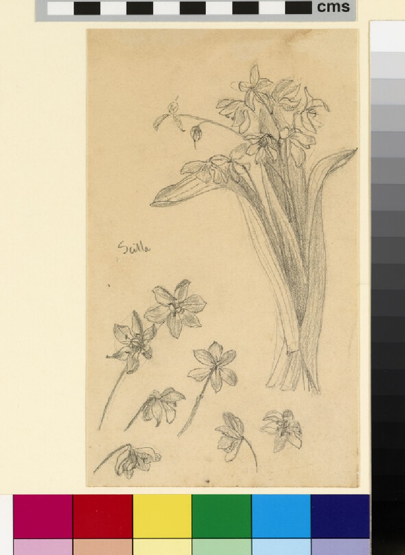 Study of a bunch of scilla, with six detail studies of the flowers (WA1941.108.114)