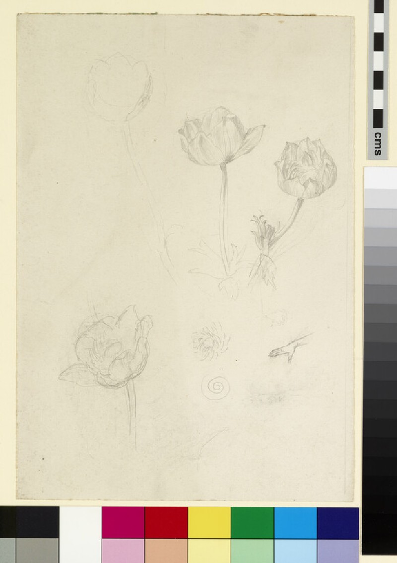 Three studies, possibly of an anemone, and of an outstretched hand (WA1941.108.116)