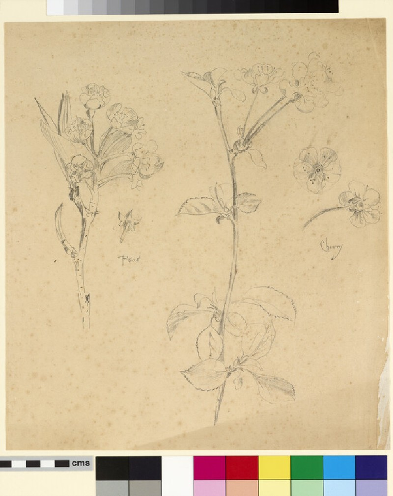 Studies of pear and cherry blossom, with detail sepal and flower studies