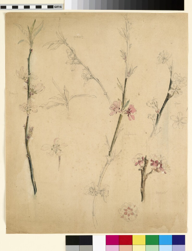 Studies of peach, nectarine, plum and apricot blossom, with detail flower studies