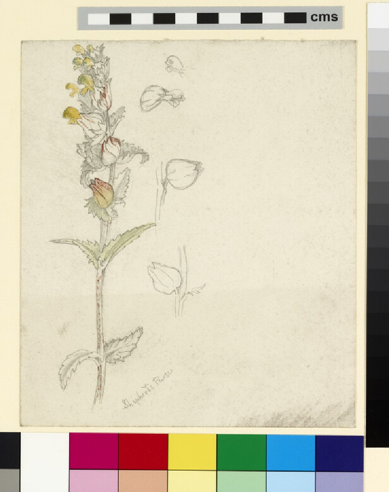 Studies of Shepherd's Purse (Yellow Rattle)