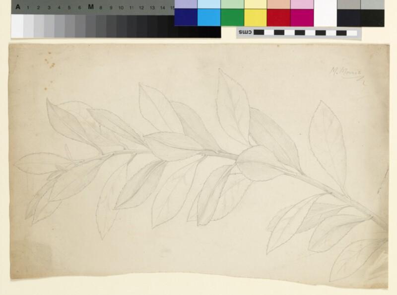 Study of a holly stem, possibly ilex pyramidalis