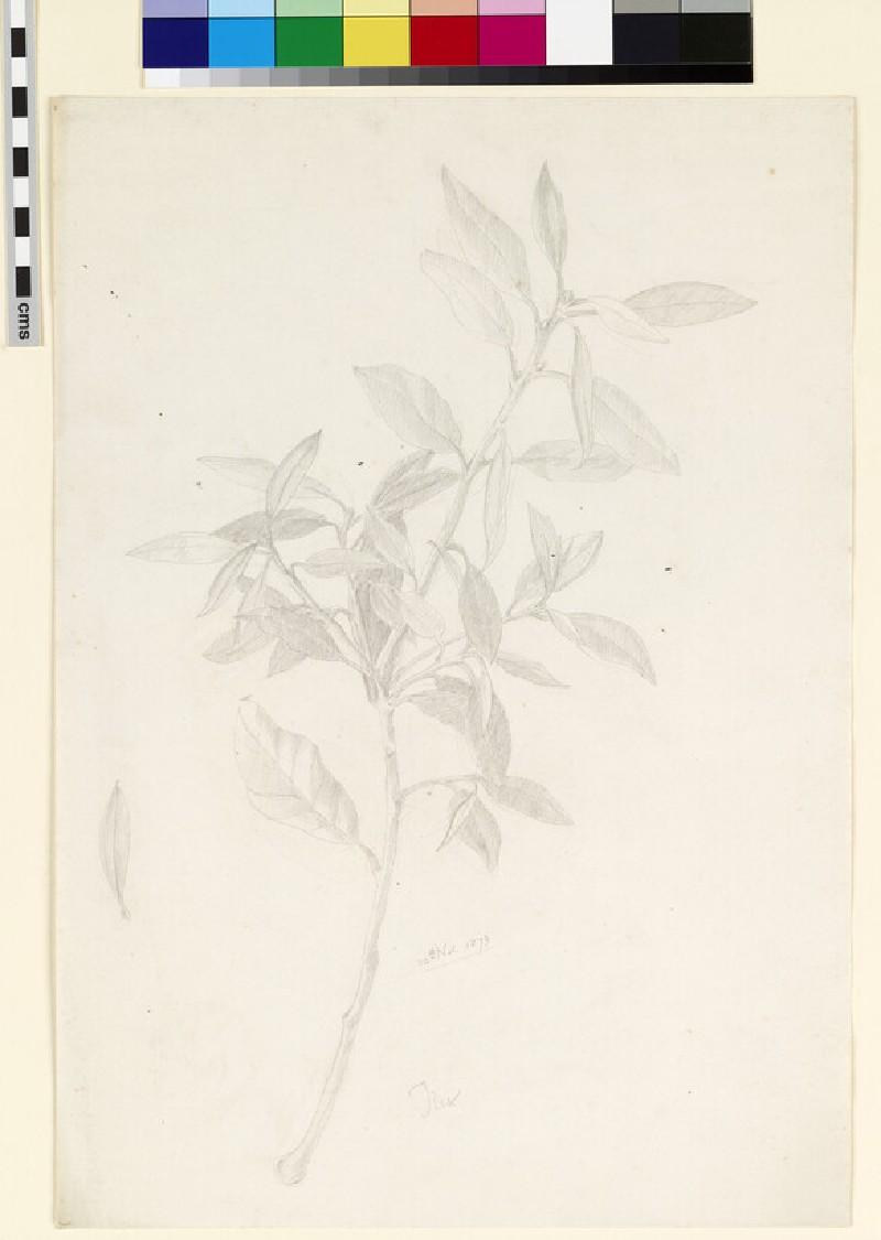 Study of a branch of ilex (WA1941.108.126)