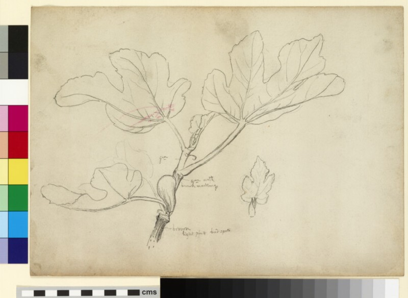 Study of a fig branch and detail study of a leaf (WA1941.108.129)